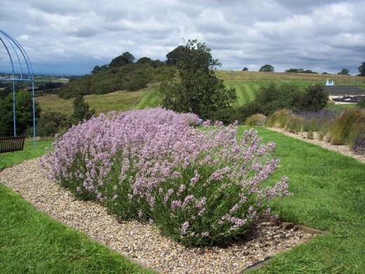 Lavender in The Howardian Hills