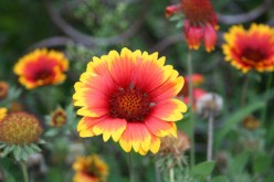 How to Grow Gaillardia or Blanket Flower