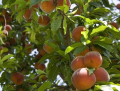 Learn all about Peaches - Easy Recipes
