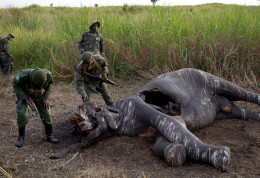 Elephant slaughter