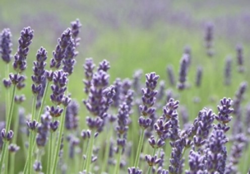 How to Prepare, Brew, and Steep Herbal Lavender Tea