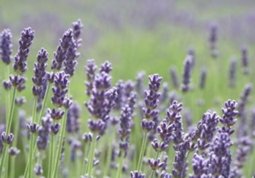 fragrant field of lavender in summertime