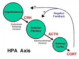 The acute stress response sets off stress hormone changes in the body.