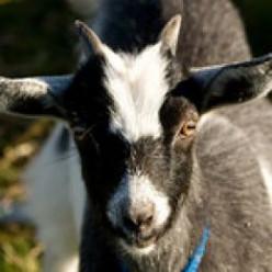 What Burns My Goat PT XVII