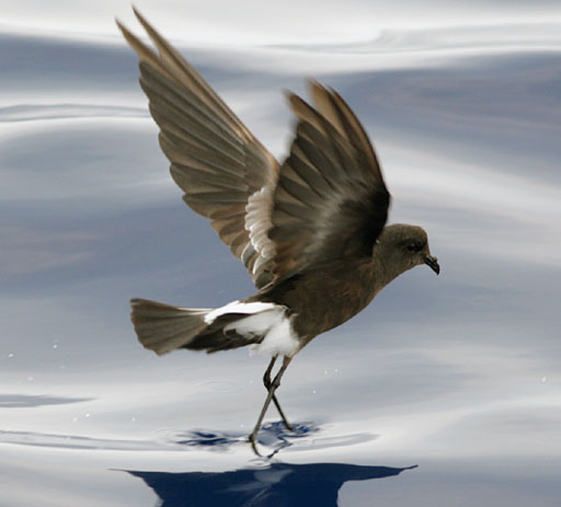 The Wilson's storm petrel is only a rare visitor to British shores, and like its more common relative follows ships in the hope of picking morsels of food.