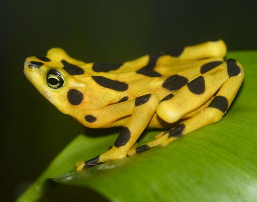 Panamanian golden frog, now a critically endangered species