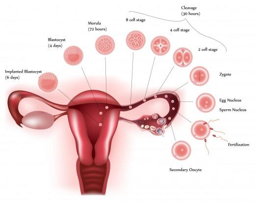 The implantation of the Fertilised egg takes around 6 days