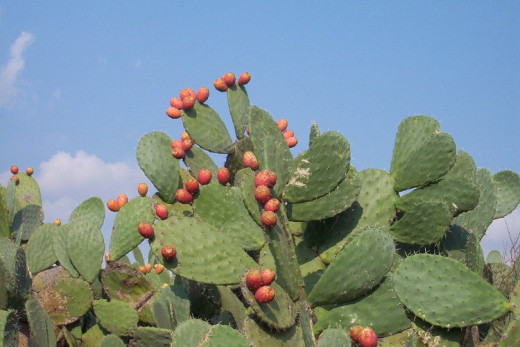 Cactus Figs, or Cicinder (sis-sin-der) are sweet, tasty fall fruits that can be made into marmalade.  They ripen to perfection in the dry Mediterranean sun, just watch out for their stickers!