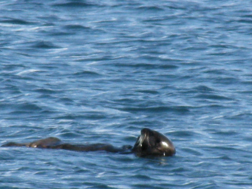 Our friendly sea otter