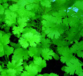 CORIANDER - Tasting freshness, feeling good...