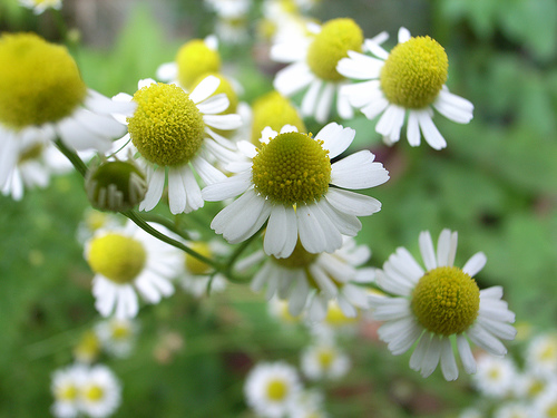 Chamomile is a great herb to help with sleep problems