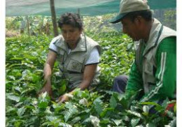 Peruvian organic coffee plantation