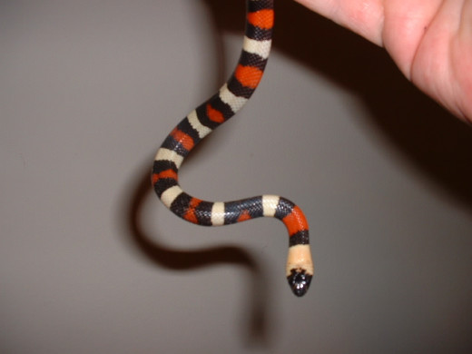 Pueblan Milksnake (Non Venomous) - Another very easy going snake for beginners.  Notice the resemblance to our venomous Coral Snake!