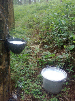 Sap being collected from a tapped rubber tree