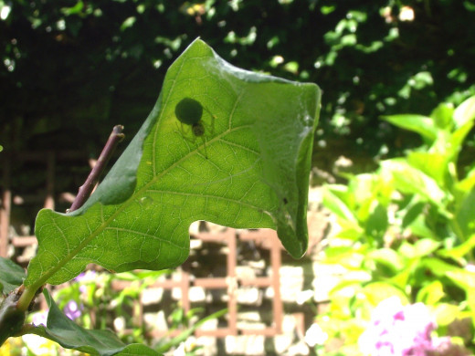 This spider is under an oak leaf which she has pulled together in the manner of a tent to hide her cocoon. She will stay with it until the spiderlings hatch out.