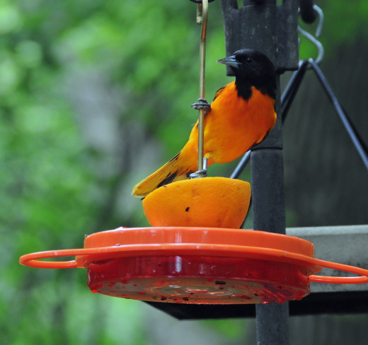 Oriole enjoying a orange