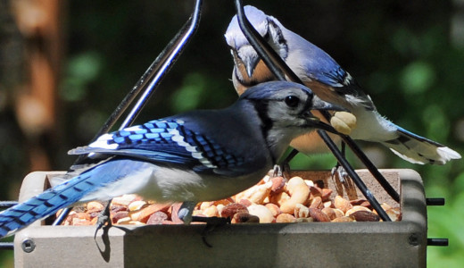These Blue Jays prefer nuts