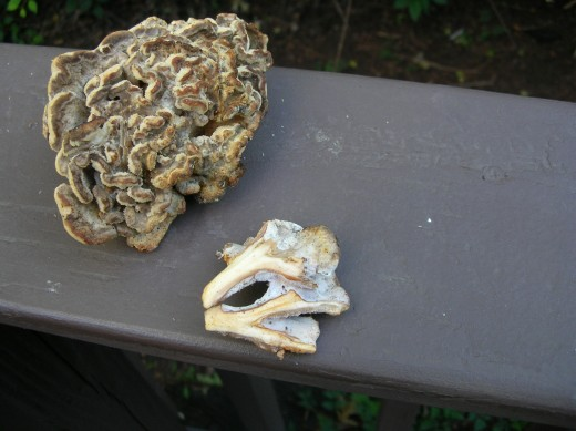 This is a small immature hen of woods. I had a few pieces off,