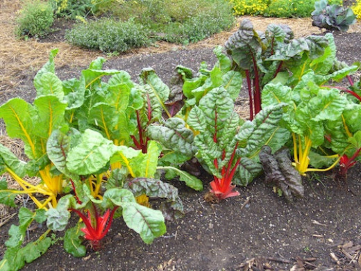 Chard, kale and spinach are packed with nutrients and fast growing. To extend the season of any of these, remove only the outer leaves.