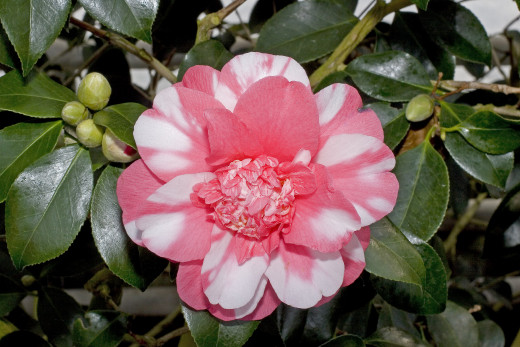 A beautiful variegated Camellia Japonica