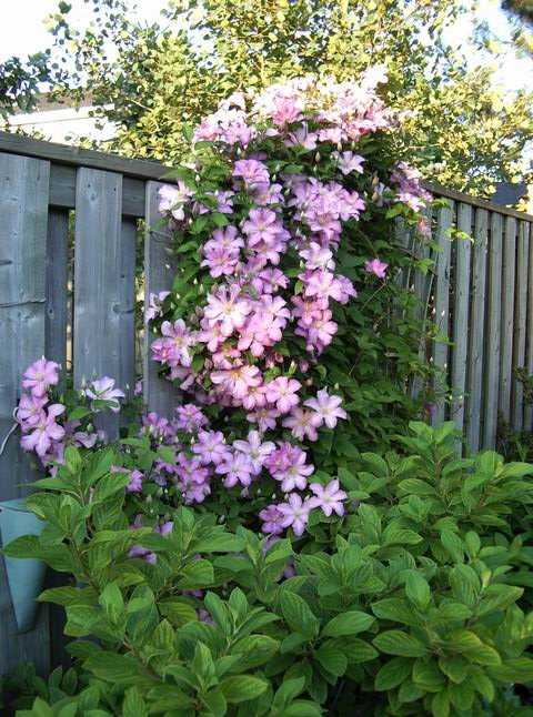 Clematis at our last house.