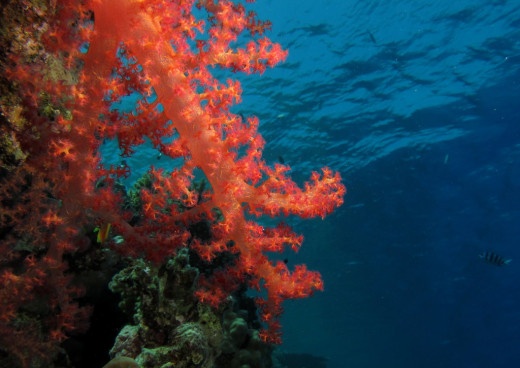 Northern Red Sea - Red Coral  with a view at Fanous East Reef, Red Sea, Egypt