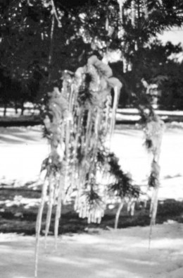 Icicles hanging from one of our trees in Wisconsin Rapids, Wisc.