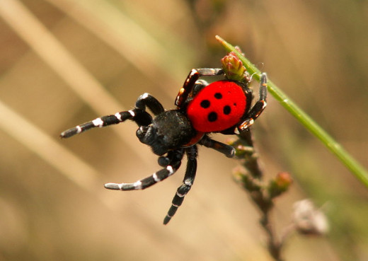 The beautifully marked lady bird spider is very rare in the UK.