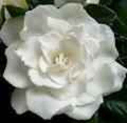 What is the best way to insure that your gardenia  will flourish in texas