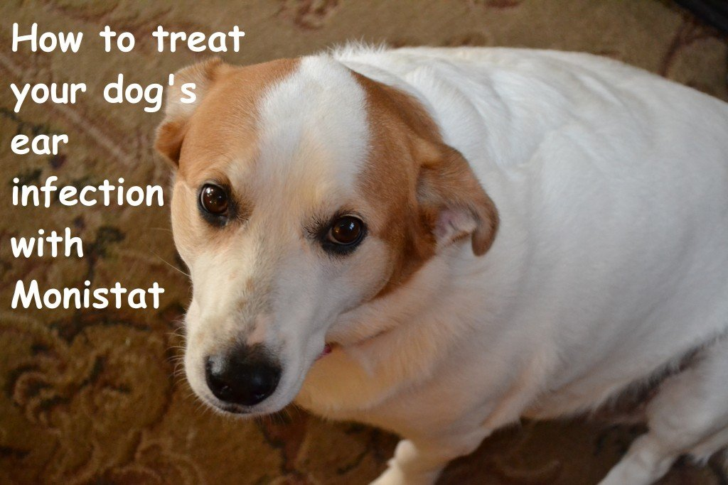 Remedy For Yeast In Dogs Ears
