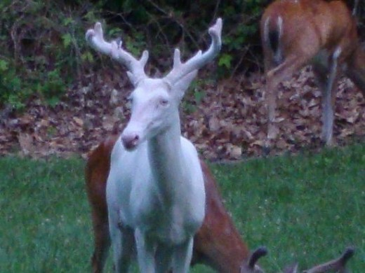 An albino buck with several normally colored does in the background
