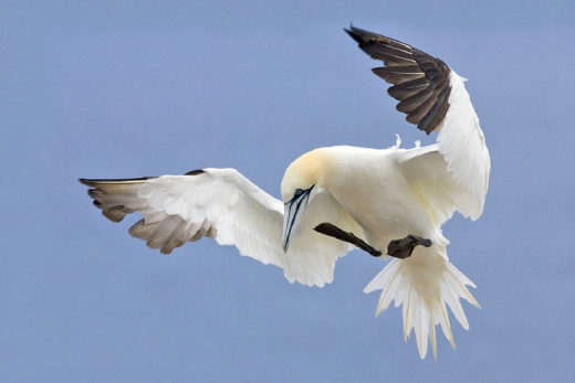 The Northern gannet is the largest sea-bird to be found in Britain, sporting an impressive 6 foot wingspan.