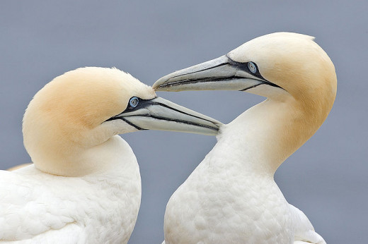 Gannets usually pair for life, and reaffirm the bond by engaging in mutual preening.