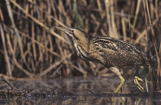 The Eurasian bittern is smaller and stockier than the grey heron, and has black streaked brown plumage which is puffed out during territorial calling.