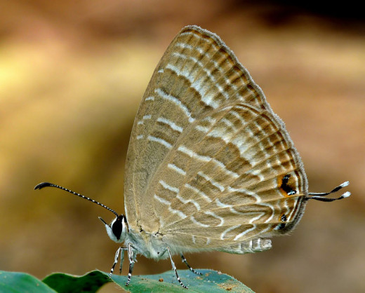 The Common Cerulean (Jamides celeno) is a small butterfly found in India belonging to the Lycaenids or Blues family. For me, a butterfly is a symbol of beauty and freedom--to be felt--despite the burden of debt.