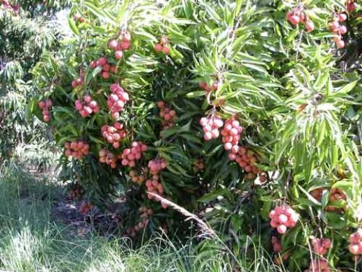 A Lychee Tree