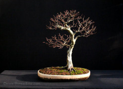Is bonsai cruel?