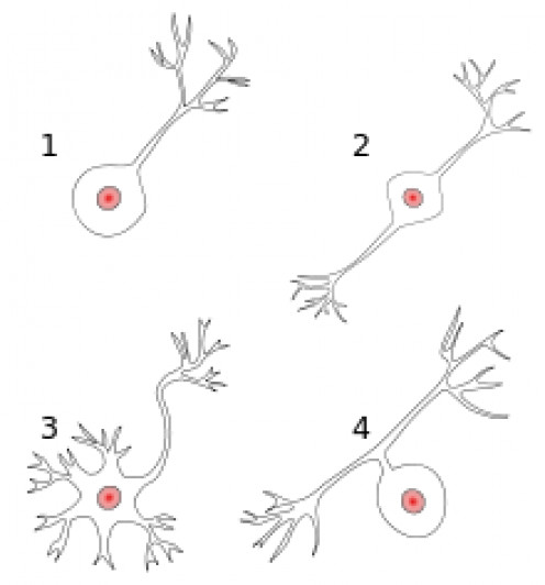 "Four kinds of neurons pass messages back and forth in the body, named by how many ""poles"" they have."