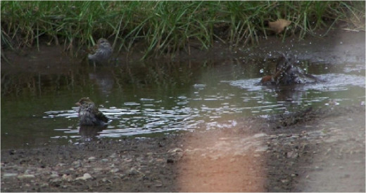 birds in puddle