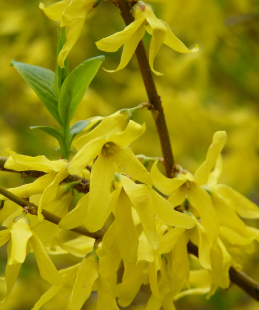 Forsythia showing its dazzling yellow blooms in anticipation of warmer weather to come!