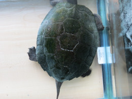 Elmer is totally brown, he has recently str\arted to turn green from algae.