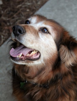 Many large dogs develop arthritis.