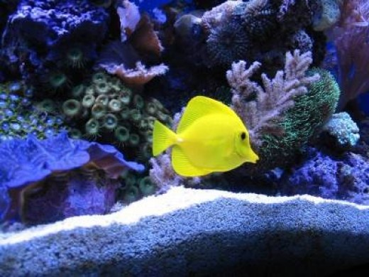 Buy a beautiful yellow tang and add a splash of color to your fish tank.