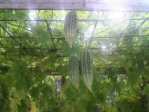 Last year's photo of bitter melons hanging on the trellis.