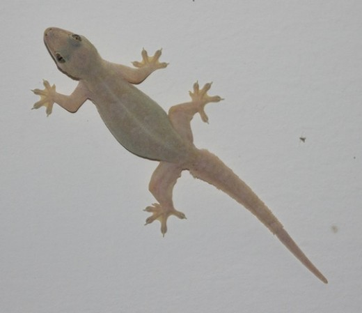 A house lizard. Where did the first lizard come from?