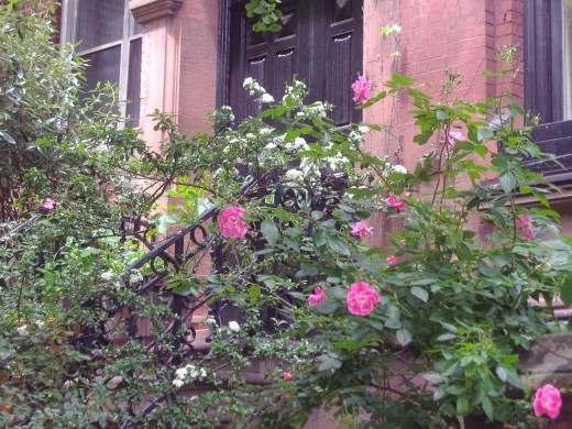 A rose garden outside an apartment, Upper East Side.