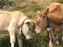 Playful bovine behavior or a high level intelligence briefing?  You be the judge!