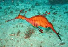 The sleeker version of the Leafy Sea Dragon is the Weedy Sea Dragon.