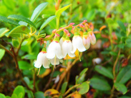 The lingonberry blooms are white or pink. This photo is taken outside my door.
