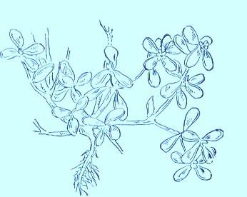 Purslane (Portulaca oleracea)Artwork by ~ Jerilee Wei